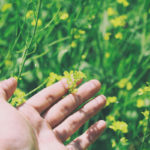 Close-up of hand holding yellow wild flower in a field of grass.
